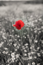 Red Poppy Flower On A Black And White Background