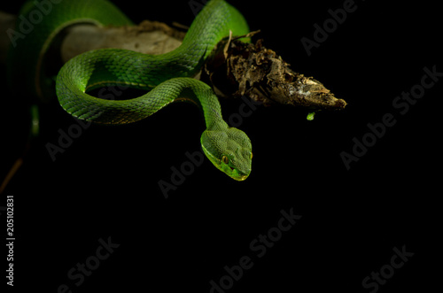 Green pit viper on black background Slika na platnu