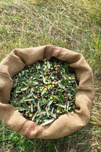 Foto op Canvas Olijfboom Olive oil harvest