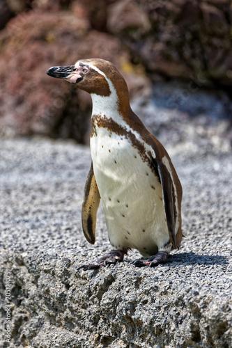 Staande foto Pinguin Manchot de Humboldt
