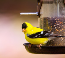 Male Gold Finch On Tube Seed F...