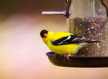 Male Gold Finch On Tube Seed Feeder, Close Up With Soft Defocused Background