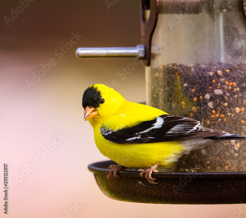 Photo  male gold finch on tube seed feeder, close up with soft defocused background