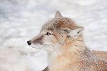Young Corsac Fox Close Up. Ani...