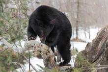 Black Bear (Ursus Americanus) Sniffs Deeply At Log