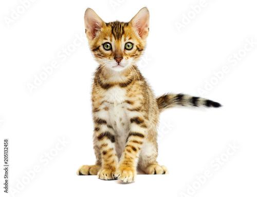 Bengal kitten on white background Canvas Print