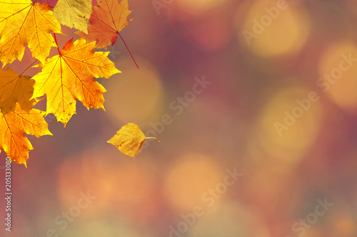 Obraz Sunny colorful fall season leaves on blurry bokeh copy space background. Selective focus used. - fototapety do salonu