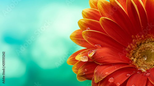 Poster Gerbera Beautiful orange flower Gerbera with water drops on turquoise abstract background. Macro photography of gerbera flower.
