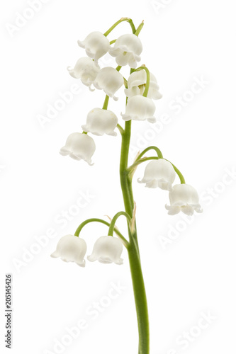 Wall Murals Lily of the valley White flower of lily of the valley, lat. Convallaria majalis, isolated on white