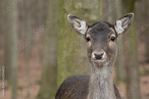 Staande foto Hert Deer
