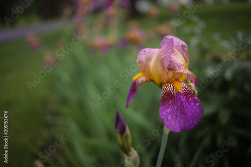 Foto op Canvas Iris Purple and Yellow Bearded Iris Flowers Blooming in a Spring Garden