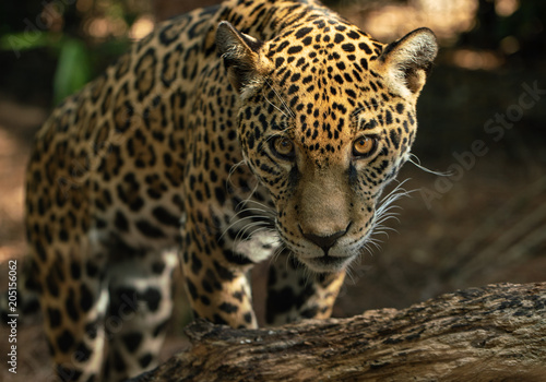 Tuinposter Luipaard leopard has spotted you