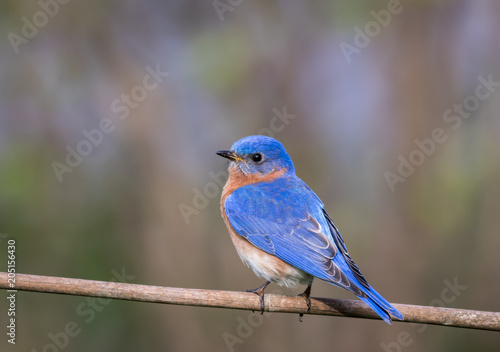 Valokuva  Eastern Bluebird, Sialia sialis, male perched with simple gray palette backgroun