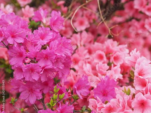 Staande foto Azalea 満開に咲くピンク色のツツジ