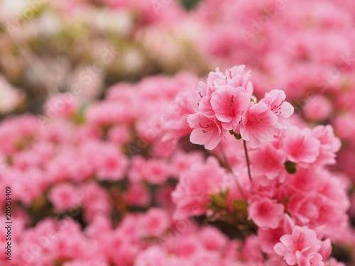 Foto op Plexiglas Azalea 満開に咲くピンク色のツツジ