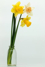 Yellow, White Daffodils (narcissus) With Peach Colored Cup