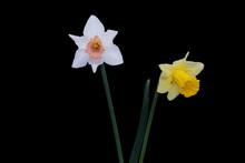 Yellow, White Daffodils (narci...