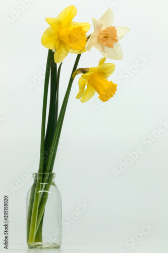 Staande foto Narcis Yellow, White daffodils (narcissus) with peach colored cup