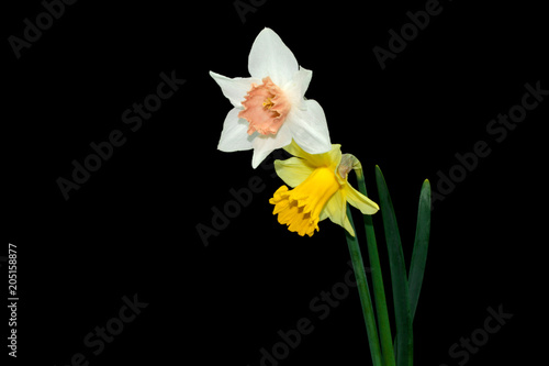 In de dag Narcis Yellow, White daffodils (narcissus) with peach colored cup