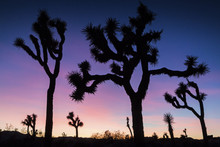 The Silhouette Of Joshua Trees Against The Sunset In Joshua Tree National Park (California).