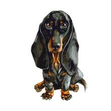 Black Dachshund Dog Isolated On White Background