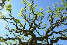 Arbre Sophora Japonica Pendula...