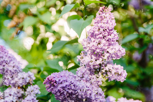 Staande foto Lilac Spring branch of blossoming lilac