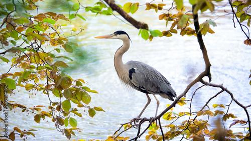Fotografía Grey heron bird on the tree