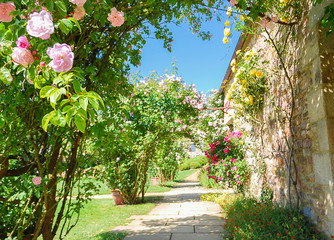 FototapetaNon focus scene arch plant rose blossoms mixcolors climbing with pink, and red and green fresh leaves in summer garden with background walkway, beautiful enviroment at castle holiday summer concept