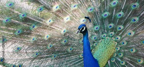 Fotografie, Obraz  Indian peacock