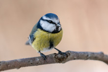 Beautiful Close Up Of A Blue Tit Sitting On A Branch