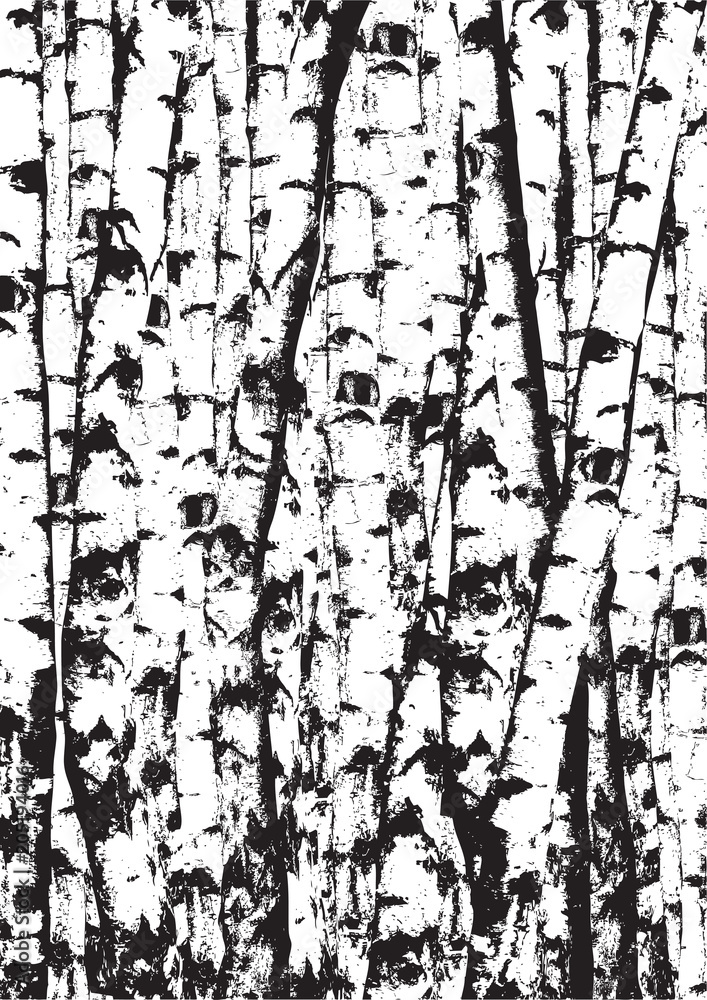 Realistic vector black and white illustration of birch tees trunks. Black and white birch trees forest.