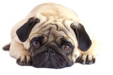 Pug Dog Isolated. Looking Sad ...
