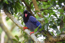 Taiwan Blue Magpie In Yangming...