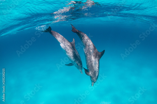 In de dag Dolfijn Spotted dolphins surfing in waves in clear blue water