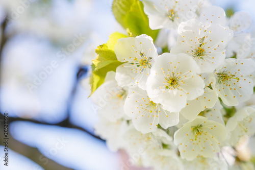 Keuken foto achterwand Bloemen Blossoming tree brunch with white flowers on bokeh blue background