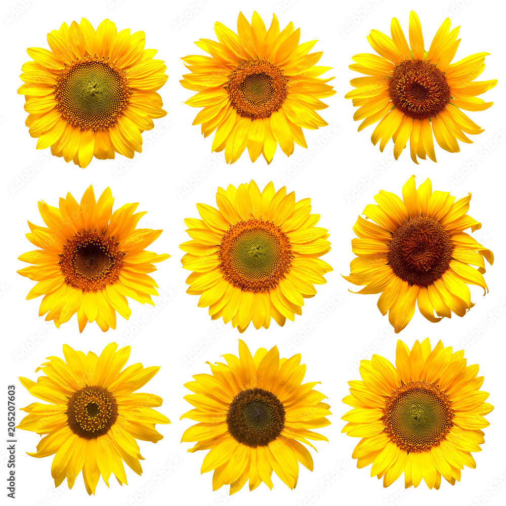 Sunflowers head collection on the white background