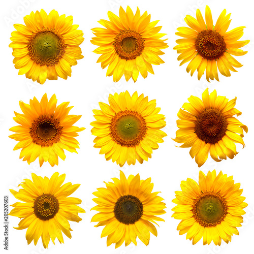 In de dag Zonnebloem Sunflowers head collection on the white background