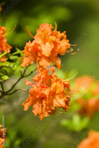 Papiers peints Azalea Blooming spring orange azalea flower in the garden.
