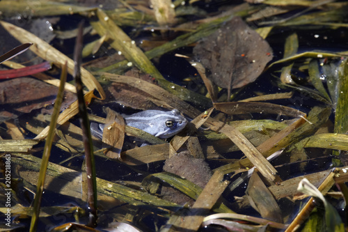 Blue frog in pond, spawning period