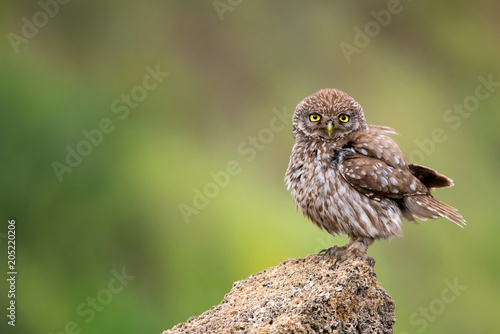 Fotobehang Uil The little owl (Athene noctua) standing on a rock on a colorful background