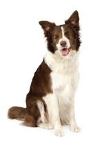 Beautiful Collie Border Dog Is...