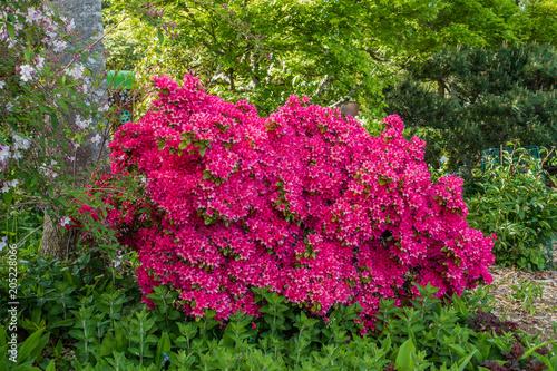 Staande foto Azalea Pink Azalea Bush 2