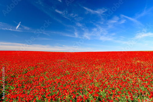 Keuken foto achterwand Rood traf. field of red poppies