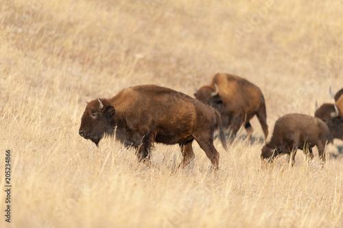 Foto op Aluminium Bison American bison on pasture