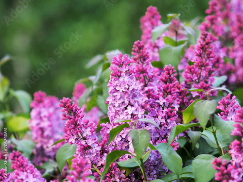 Foto op Canvas Lilac Pink blooming ornamental lilac on green background. Flowers syringa, flowering woody plants in the olive family Oleaceae. Ligustrum