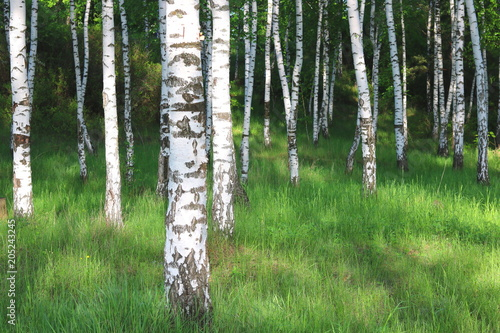 Photo Stands Birch Grove Beautiful birch trees with white birch bark in birch grove with green birch leaves in early summer