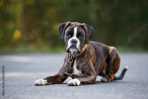 Foto  german boxer dog lying down outdoors in summer