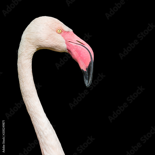 Staande foto Flamingo Rosy Chilean flamingo at black background