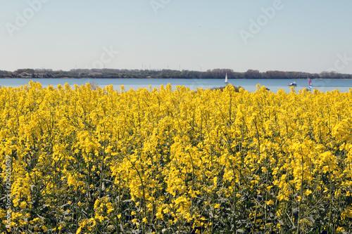 Fotobehang Zwavel geel Rapsfeld im Frühling an der Ostsee Insel Rügen